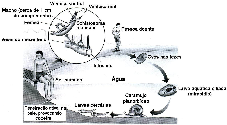 Parasitoses transmitidas pela água um problema de saúde publica 7