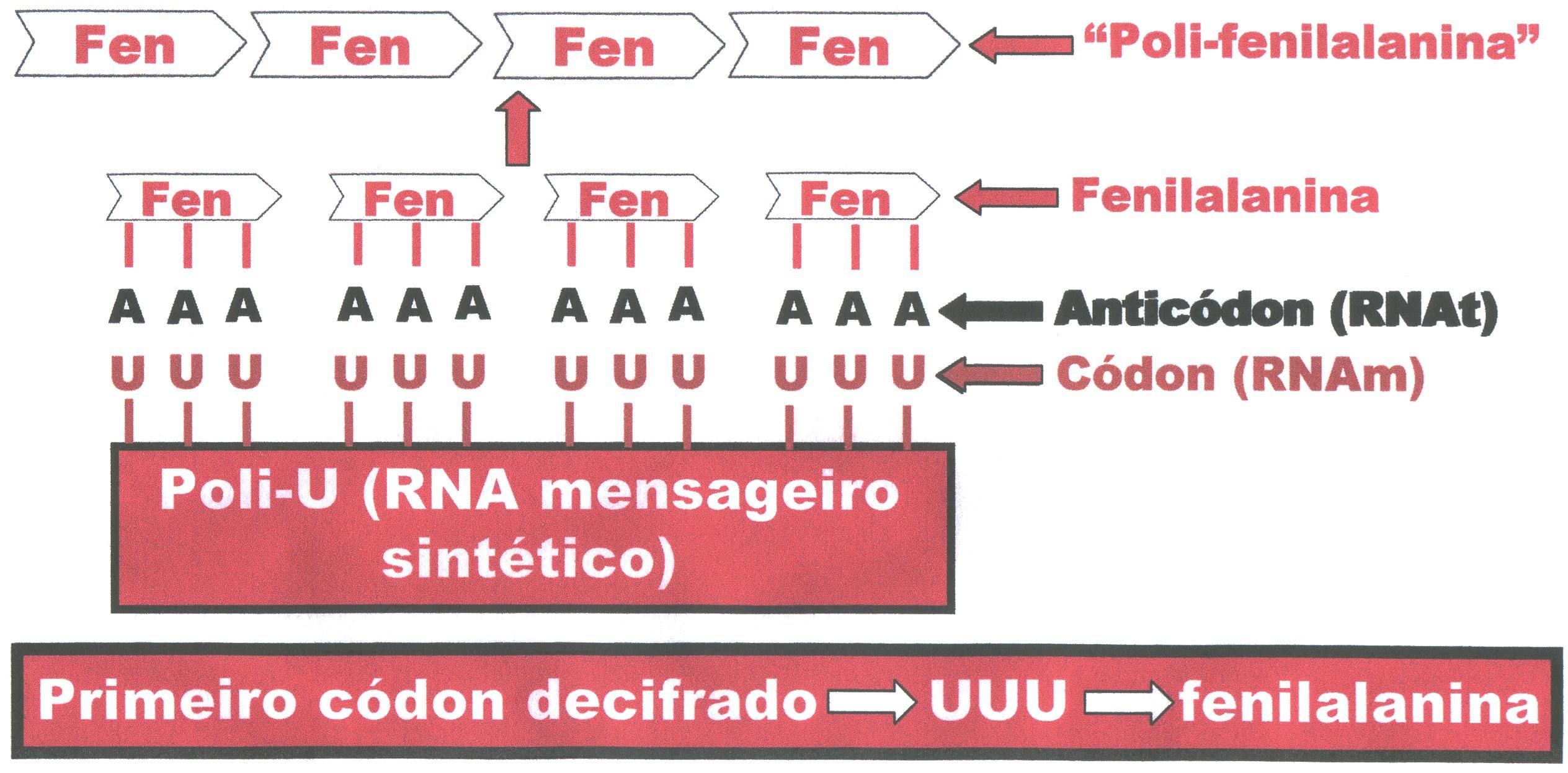 Uuu U >> CÓDIGO GENÉTICO | Blog do Prof. Djalma Santos