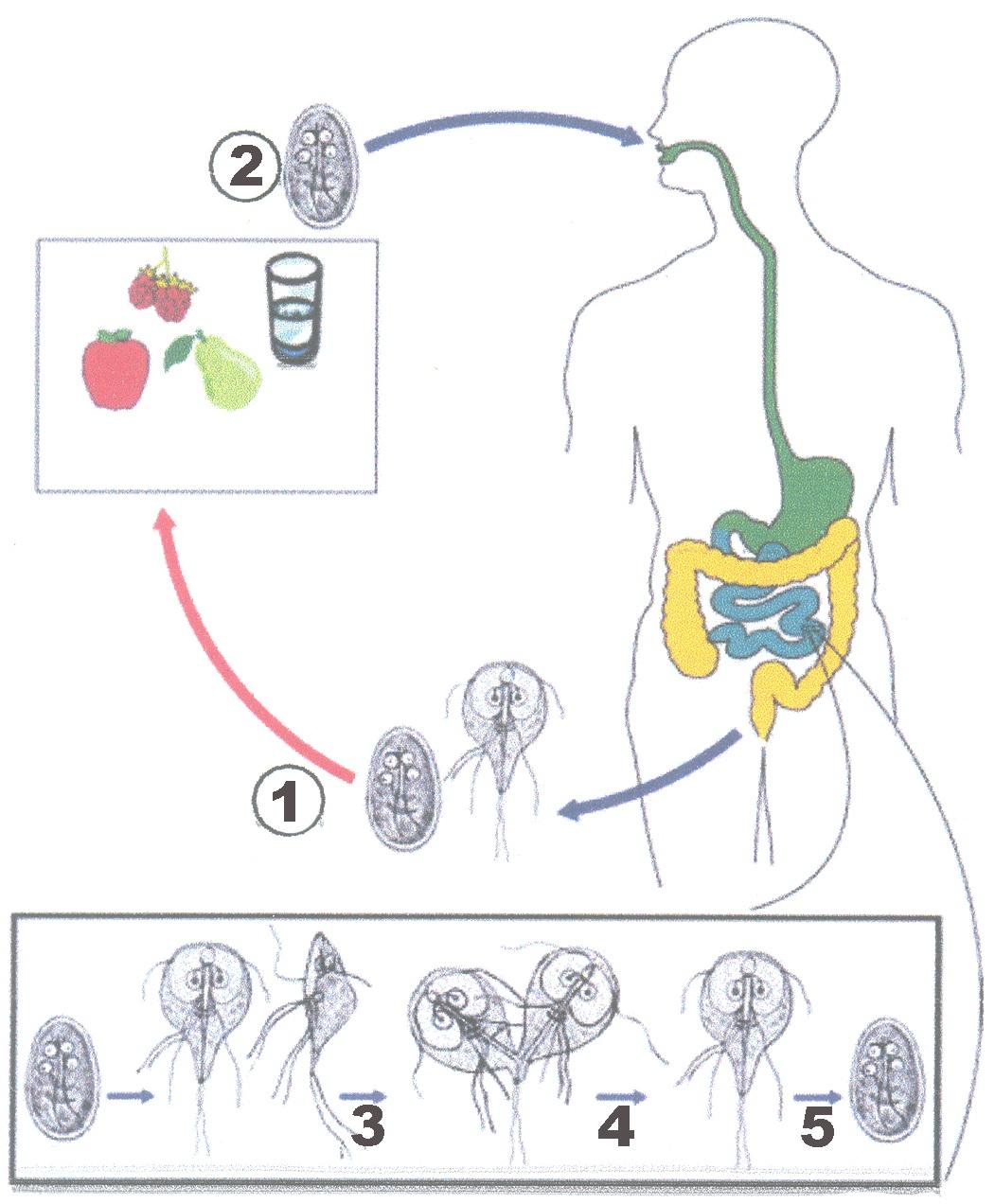 Os vermes em adultos como tratar o remédio de gente
