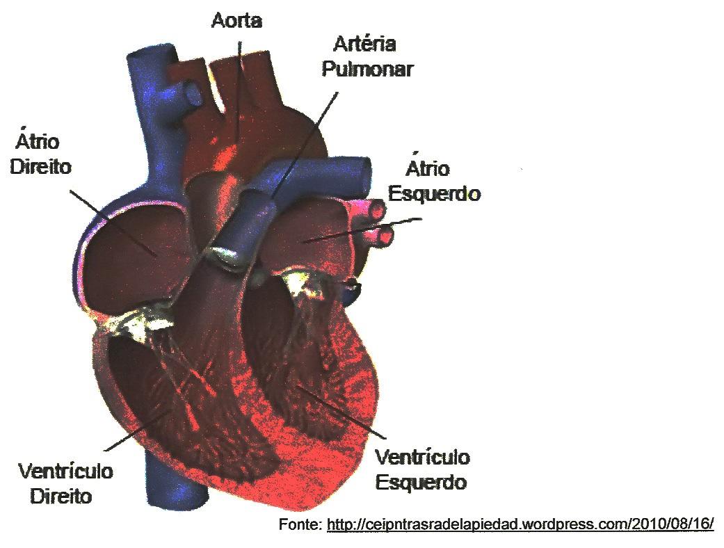 Testes de fisiologia 55 blog do prof djalma santos do corao apresenta um maior espessamento da musculatura do miocrdio por ser responsvel pelo transporte de sangue pobre em oxignio para o pulmo ccuart Image collections