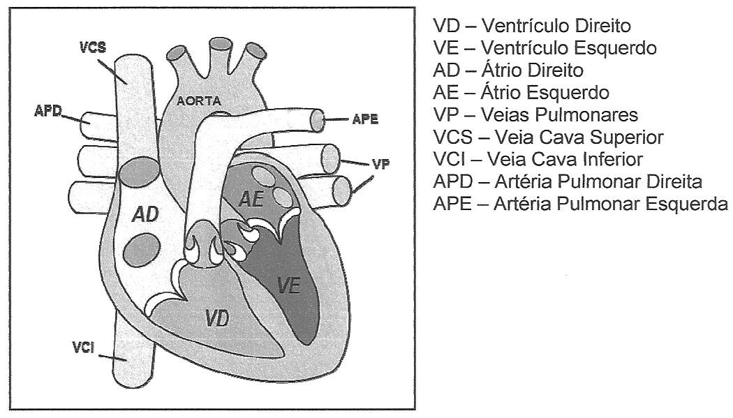 Fluxo do sistema ordem sanguíneo humano do circulatório