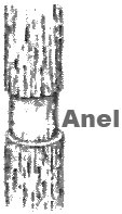 Resultado de imagem para anel de malpighi