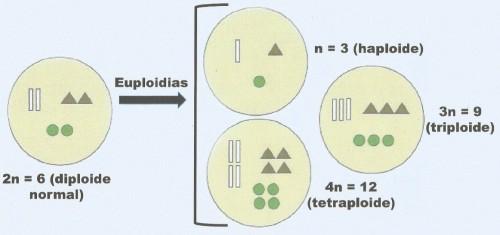 euploidia