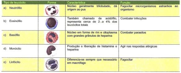 leucocitos tipos e funções